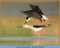 black-winged-stilt-68.jpg