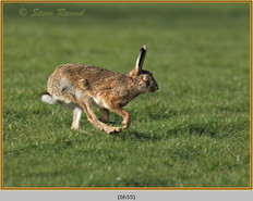 brown-hare-55.jpg