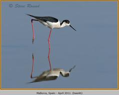 black-winged-stilt-46.jpg