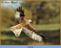 red-kite-58.jpg