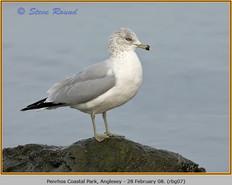 ring-billed-gull-07.jpg