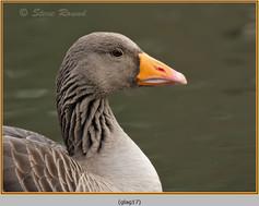 greylag-goose-17.jpg