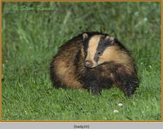 badger-10.jpg