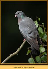stock-dove-18.jpg