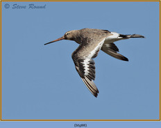 black-tailed-godwit- 88.jpg