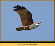 brahminy-kite-09.jpg