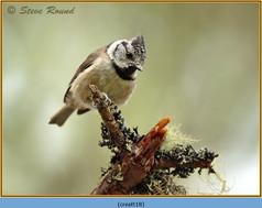 crested-tit-18.jpg