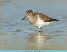 common-sandpiper-36.jpg