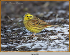 yellowhammer-32.jpg
