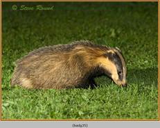badger-35.jpg