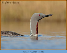 red-throated-diver-105.jpg
