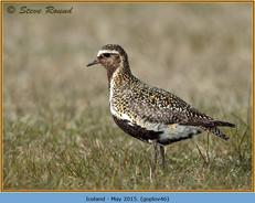 golden-plover-46.jpg