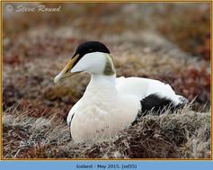 eider-duck- 55.jpg