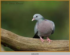 stock-dove-30.jpg