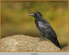 carrion-crow-21.jpg