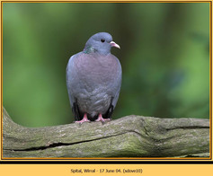 stock-dove-10.jpg