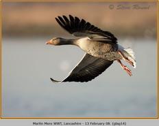 greylag-goose-14.jpg