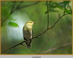 wood-warbler-54.jpg