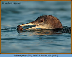 great-northern-diver-64.jpg