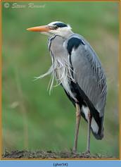 grey-heron-54.jpg