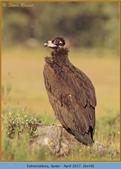 black-vulture-18.jpg