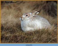 mountain-hare-05.jpg