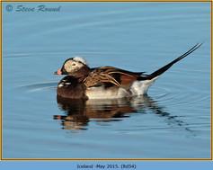 long-tailed-duck-54.jpg