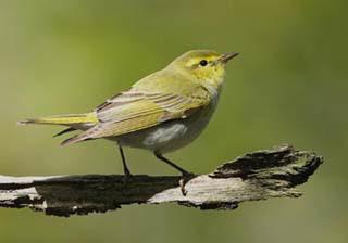 wood-warbler-1.jpg
