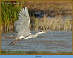 grey-heron-67.jpg
