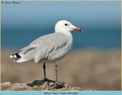 audouin's-gull-46.jpg