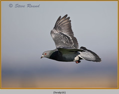 feral-pigeon-16.jpg