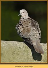 collared-dove-07.jpg