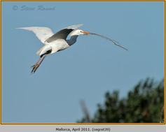 cattle-egret-39.jpg