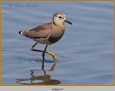 white-tailed-lapwing-27.jpg
