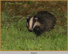 badger-12.jpg