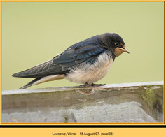 swallow-33.jpg