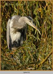 grey-heron-31.jpg