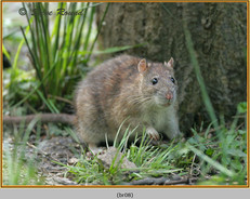 brown-rat-08.jpg