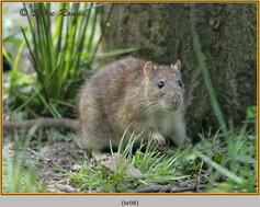 brown-rat-08.jpg