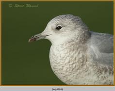 common-gull-24.jpg