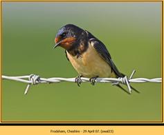 swallow-23.jpg