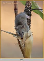 brown-rat-11.jpg