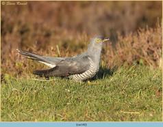 cuckoo-142.jpg