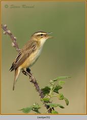 sedge-warbler-35.jpg