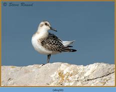 sanderling-50.jpg