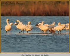 bewick's-swan-06.jpg