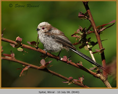 long-tailed-tit-40.jpg