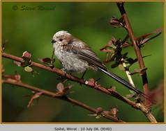 long-tailed-tit-40.jpg