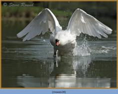 mute-swan-28.jpg