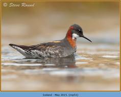 red-necked-phalarope-51.jpg